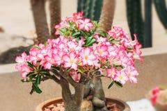 White Pink azalea Royalty Free Stock Images