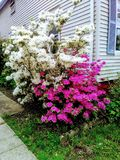 White and Pink Azaleas at Corner of White House stock photography