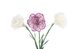 White and pink blooming carnation flowers Royalty Free Stock Images