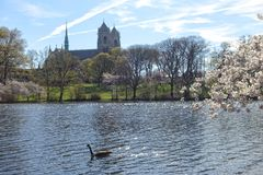 Blooming trees and goose in the park in Newark New Jersey Stock Photos