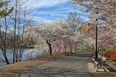 Blooming trees in the park in Newark New Jersey. White and pink Blooming cherry trees in the park in Newark New Jersey royalty free stock photography