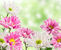 White and pink blooming chrysanthemum Stock Photography