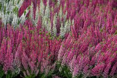 Flowering heather plant Royalty Free Stock Photos