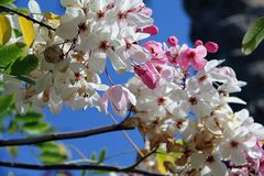 White and pink blossom beneath the blue sky. Beautiful white blossom beneath the blue sky, pink and white flowers, beauty of a nature Stock Photography
