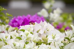 White and pink bougainvillea Stock Photos