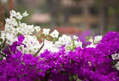 White and pink bougainvillea Stock Image