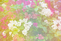 White and pink Bougainvillea or Paper flower soft style Royalty Free Stock Images