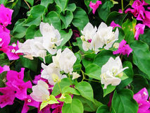 White and pink bougainvilleas. Beautiful tropical floral background: colorful white and bright pink bougainvilleaswith lush green foliage Royalty Free Stock Photography