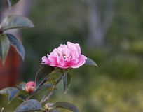 White and pink camellia, japonica, in full bloom with blue sky background royalty free stock images