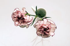 White and pink carnation flower Royalty Free Stock Images
