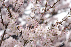 White pink cherry blossom Stock Photo