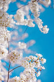 White and pink cherry blossom trees Royalty Free Stock Photography