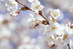 White and pink cherry blossoms Stock Images