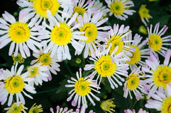 White and pink Chrysanthemum Stock Photography