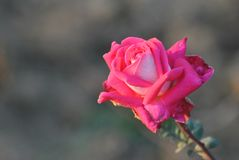 White and Pink colour mix rose royalty free stock image