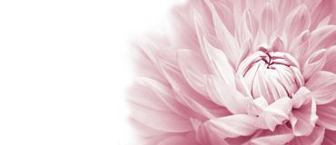 White and pink colourful dahlia flower macro photo with light pastel colors in white wide banner empty background panorama royalty free stock image