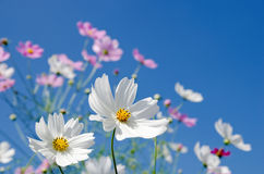 White and pink cosmos royalty free stock photos