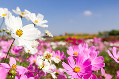 White and pink cosmos flowers Royalty Free Stock Images