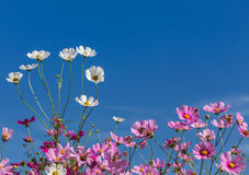 White and pink cosmos flowers blooming on blue sky background Royalty Free Stock Photos