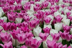 White and pink creamy tulips Royalty Free Stock Photography