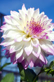 White and pink dahlia Stock Images