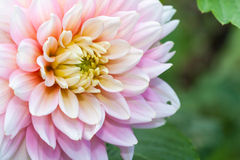 White pink dahlia flower Royalty Free Stock Photography