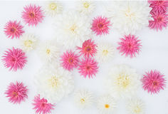 White and pink dahlia flowers on white background Royalty Free Stock Photo