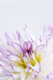 White and Pink Dahlia - Orchid Lace Royalty Free Stock Photo