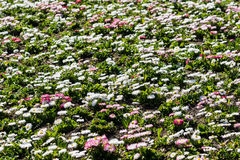 White And Pink Daisies Field Royalty Free Stock Image