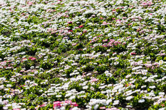 White And Pink Daisies Field Stock Photography