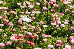 White And Pink Daisies Field Royalty Free Stock Images