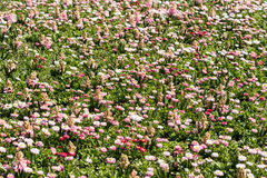 White And Pink Daisies Field Stock Images