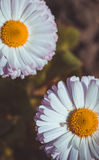 White and pink daisies Royalty Free Stock Images