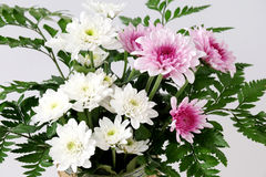 White and pink daisy bouquet on white background Royalty Free Stock Images