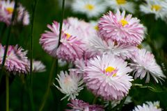 White and pink daisy on green field. Daisy flower - wild chamomile. White and pink daisies in the garden. Bellis perennis. stock images