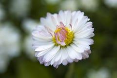 White pink daisy petals - closeup