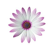 White and pink daisy on white Royalty Free Stock Photo