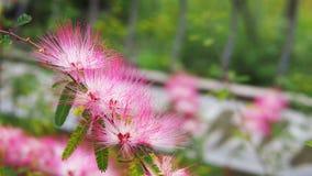 White pink dandelions at botanic garden stock photography