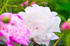 White and pink delicate peony Stock Photography