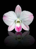 White and pink Dendrobium orchid on black Royalty Free Stock Photo