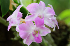 White Pink Dendrobium phalaenopsis hybrid orchid Royalty Free Stock Photos