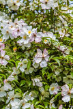 White and Pink Dogwoods Royalty Free Stock Photography