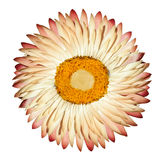 White Pink Everlasting Flower Isolated on White. Single Beautiful White Pink Helipterum - Everlasting Flower, Immortelle, Rhodanthe, Strawflower Isolated with Royalty Free Stock Photo