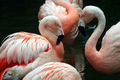 White and pink flamingos grooming themselves Stock Image