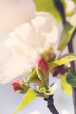 White-pink flower of an apple-tree close up Stock Images