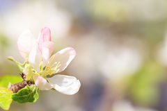 White-pink flower of an apple-tree close up Stock Image