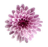 White-pink flower chrysanthemum, garden flower, white  isolated background with clipping path.  Closeup. no shadows Royalty Free Stock Photo