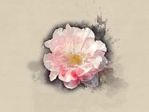 White Pink flower. Clous up. Watercolor background Stock Images