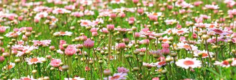 White and Pink Flower Field Royalty Free Stock Images