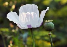 Flower and green poppy head Royalty Free Stock Photos